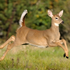 White Tail Deer: A Family Nature Quest