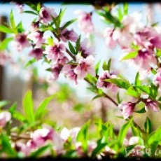 The Peach Blossom Celebration
